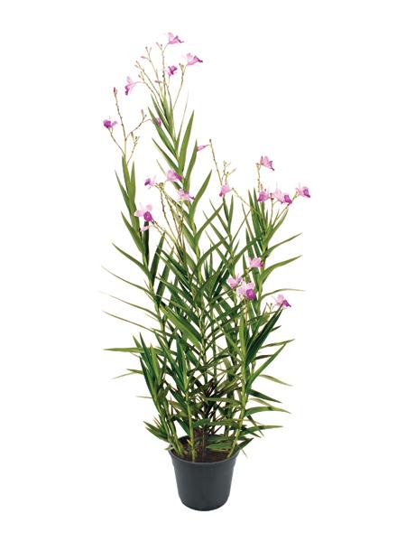 p-arundina-bambusifolia