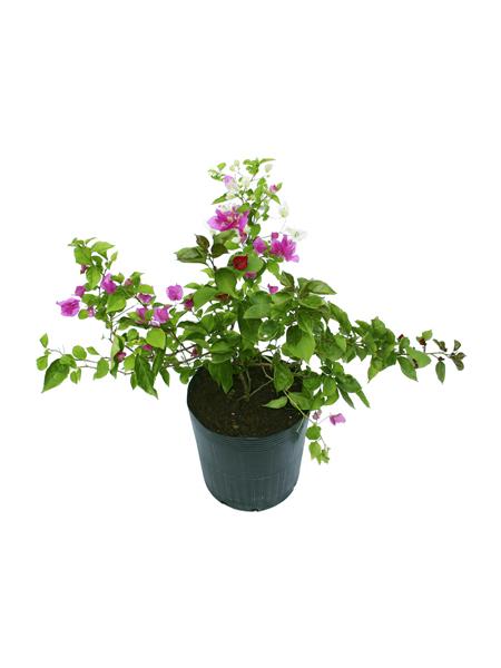p-bougainvillaea-glabra-5