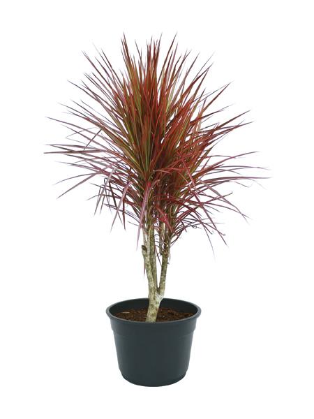 p-dracaena-marginata-vermelha
