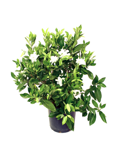 p-gardenia-jasminoides
