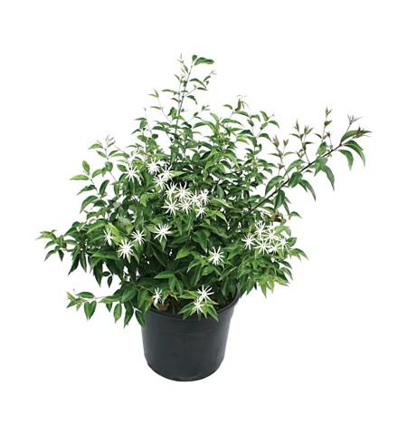 p-jasminum-nitidum
