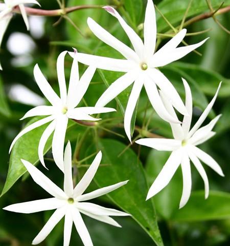 p-jasminum-nitidum-flor