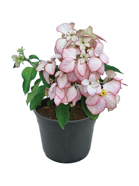 p-mussaenda-erythrophylla