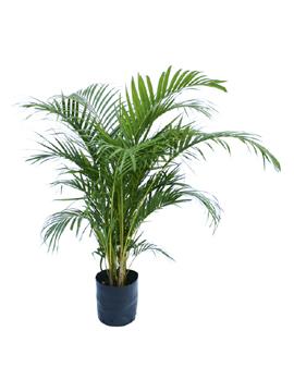 p-palmeira-familia