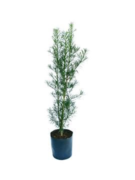 p-podocarpus1